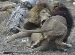 Gay Lions